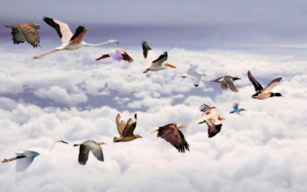 طيور فطرية مهاجرة .