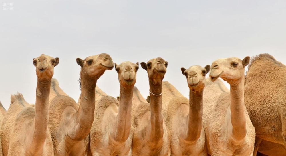 7 عروض تشمل 6 فئات للإبل المشاركة في مهرجان الملك عبدالعزيز