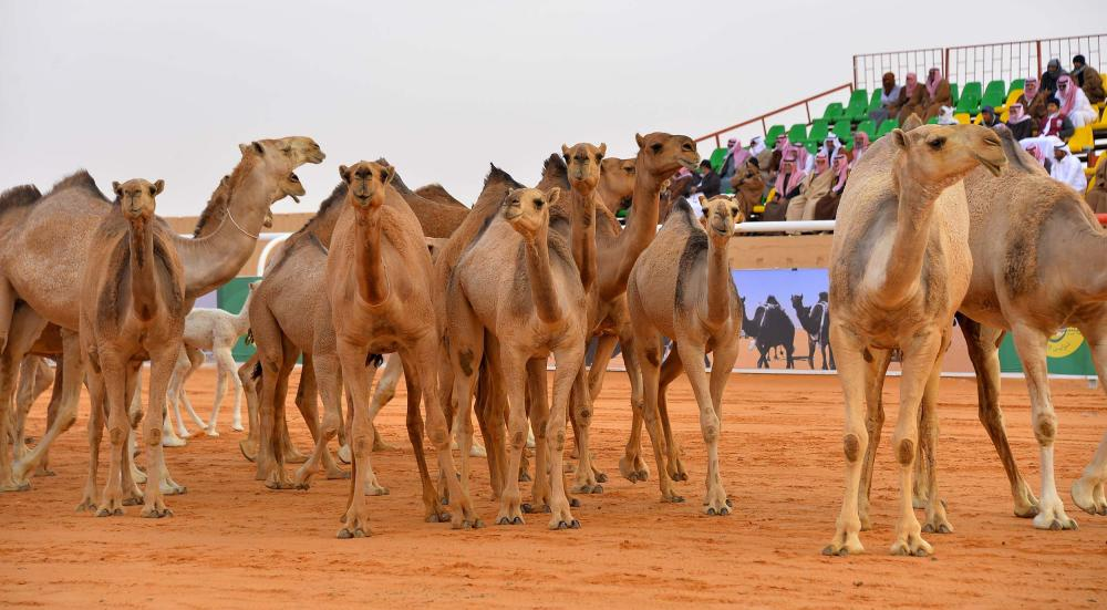 انطلاق مهرجان الملك عبد العزيز للإبل باستعراض فردي دق الشعل والحمر