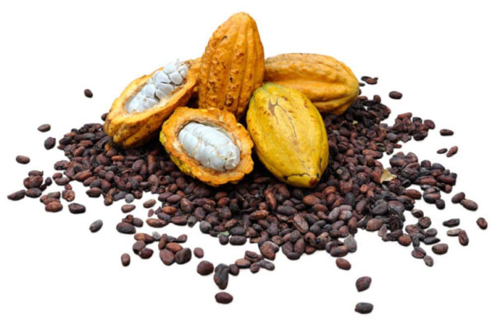 بذور شجرة الكاكاو الذي تصنع منه الشوكولاتة