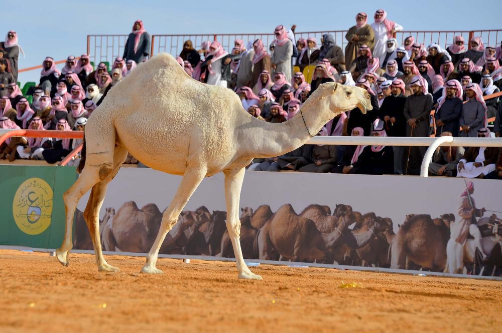 40 أسرة منتجة تشارك في مهرجان الملك عبد العزيز للإبل