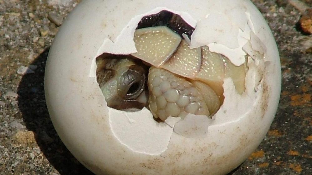 كمبوديا تعثر على 16 بيضة لـ«سلحفاة ملكية» شبه منقرضة