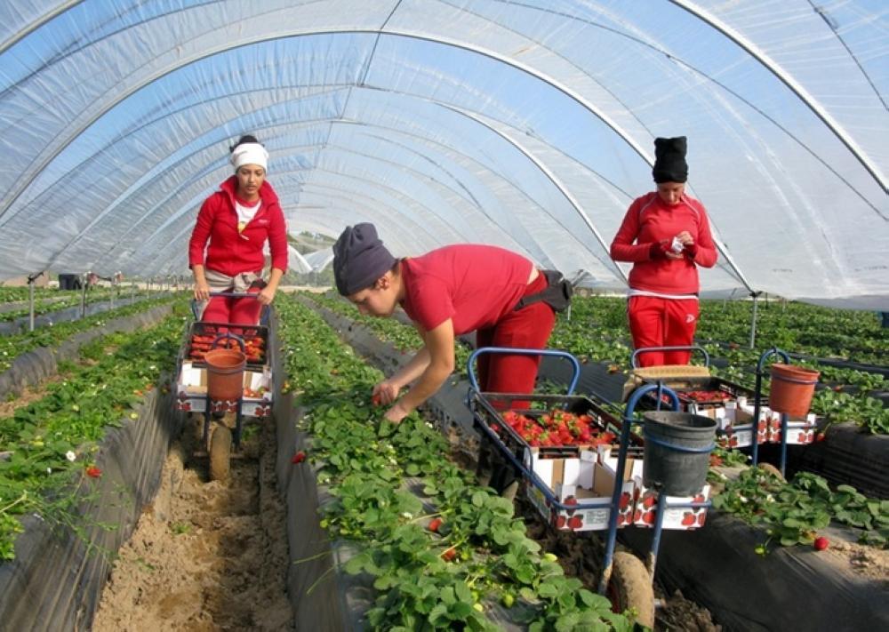 12 حالة تحرش بمغربيات في مزارع إسبانيا