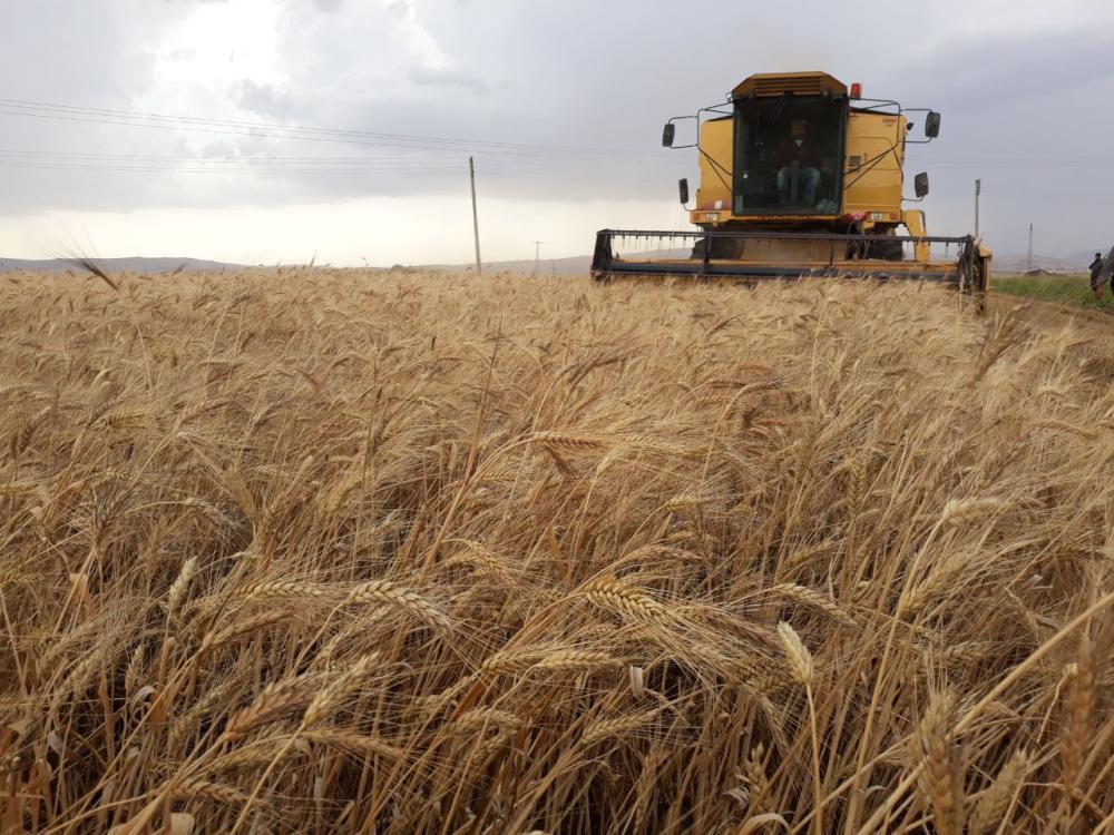 الفضلي: 1250 ريالا للطن.. سعر شراء القمح من المزارعين