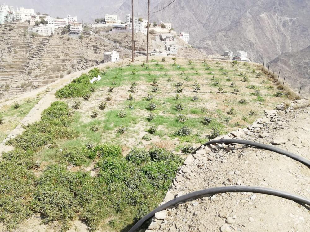 مزارع البن في بني مالك بجازان.