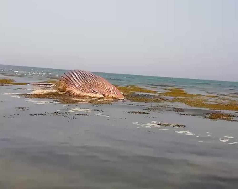 الحوت عقب نفوقه في شاطئ القحمة