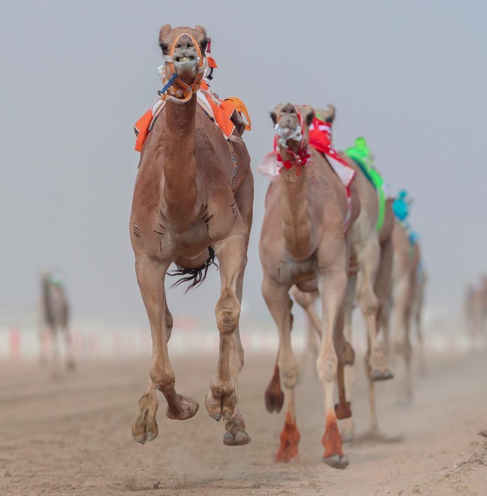 مهرجان ولي العهد يشهد منافسات الهجن العربية في الأشواط الدولية