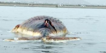 الحوت النافق في قحمة عسير. (واس)