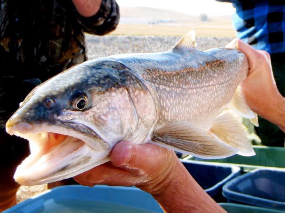 سمكة boganid char