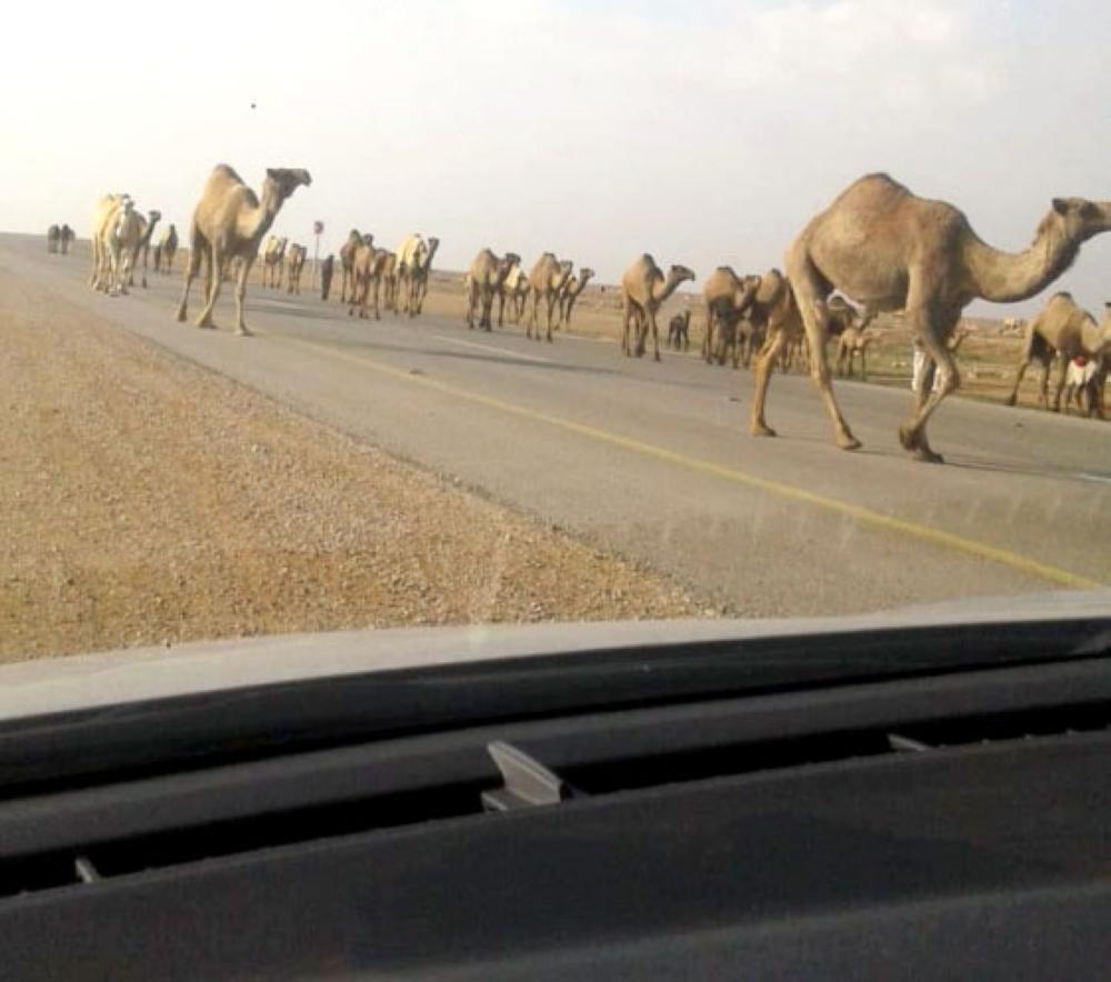 قطعان الإبل تسيطر على الطرق الرئيسية مهددة سالكي الطريق بالموت.