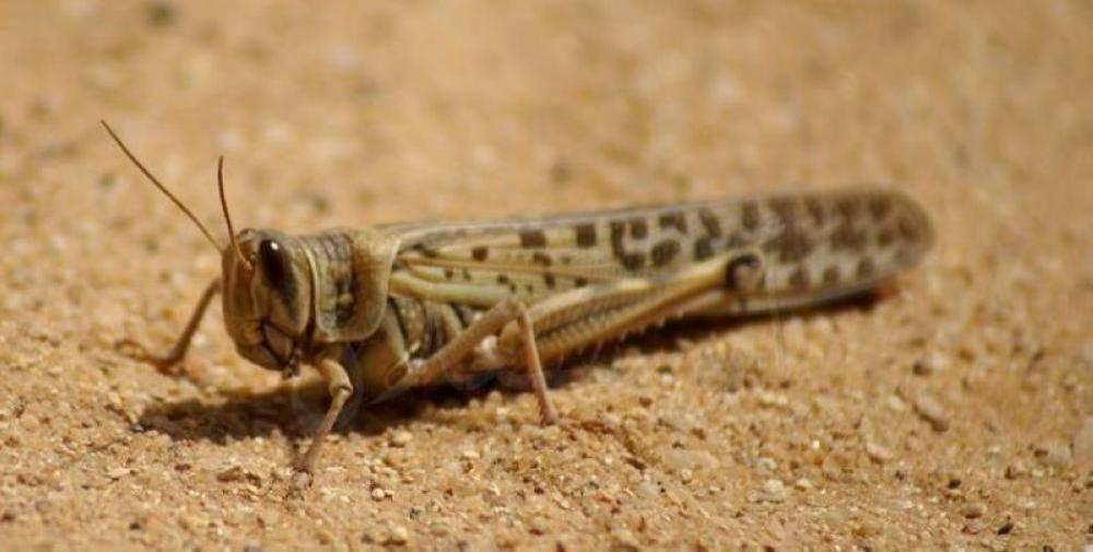 «البيئة» تواصل مكافحة الجراد الصحراوي في الأفلاج والسليل