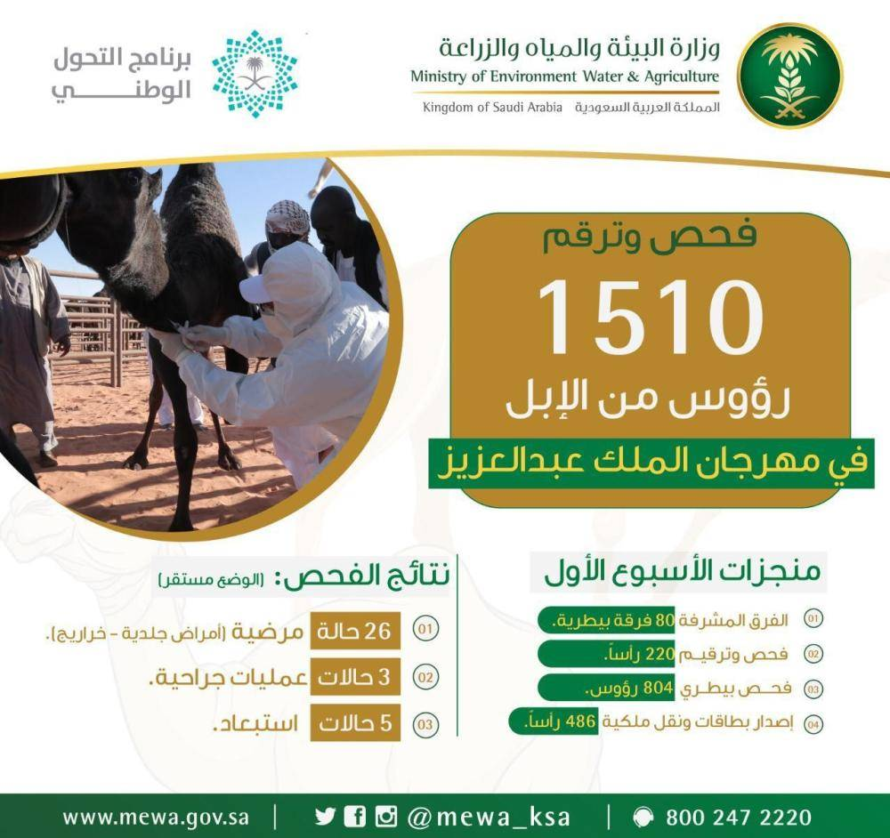 «البيئة» تفحص وترقم 1500 من الإبل خلال الأسبوع الأول في مهرجان الملك عبدالعزيز