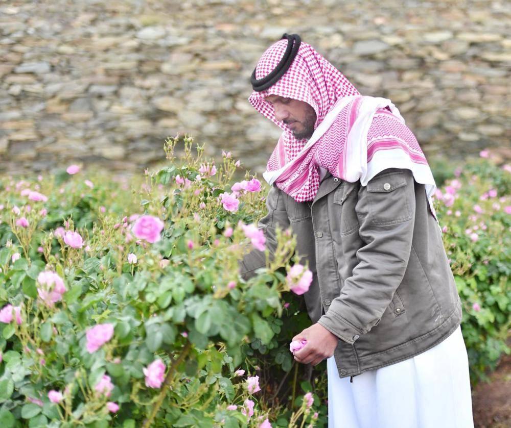 مزارع يجمع الورد في محافظة الطائف.  (تصوير: أحمد ناشي)