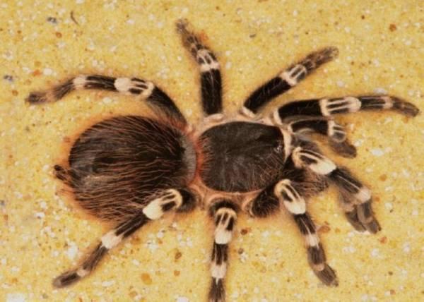 يربي عنكبوتاً مرعباً للتخلص من حماته