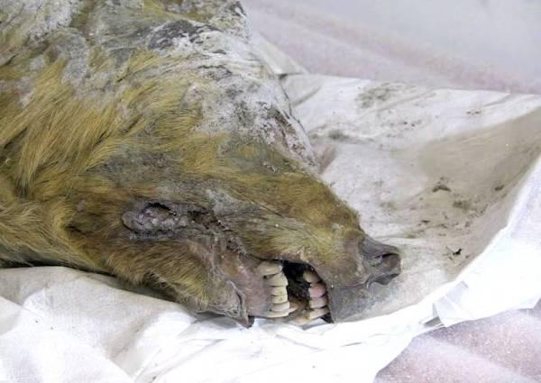 اكتشاف رأس ذئب عملاق مجمد منذ 40 ألف سنة