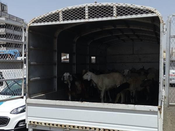 مصادرة 25 رأساً من الأغنام بحي الكعكية في مكة