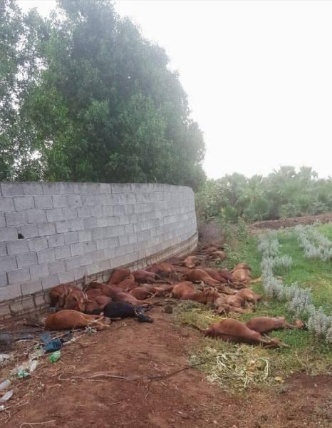 صاعقة رعدية تقتل 25 رأساً من الأغنام في «محايل عسير»