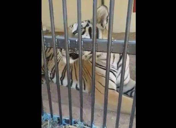 نمر يقتل عاملا في مزرعة وأغناما وحمارا وكلبا مربوطا