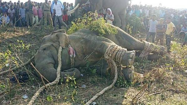 الفيل مقيداً عقب الإيقاع به.