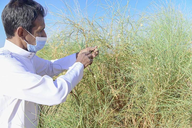 رئيس رابطة «تبوك الخضراء» طارق الحسين يجمع بذور أشجار الرتم المهددة بالانقراض، لإكثارها وزراعتها في المناطق المستهدفة. (تصوير: علي شدوي)