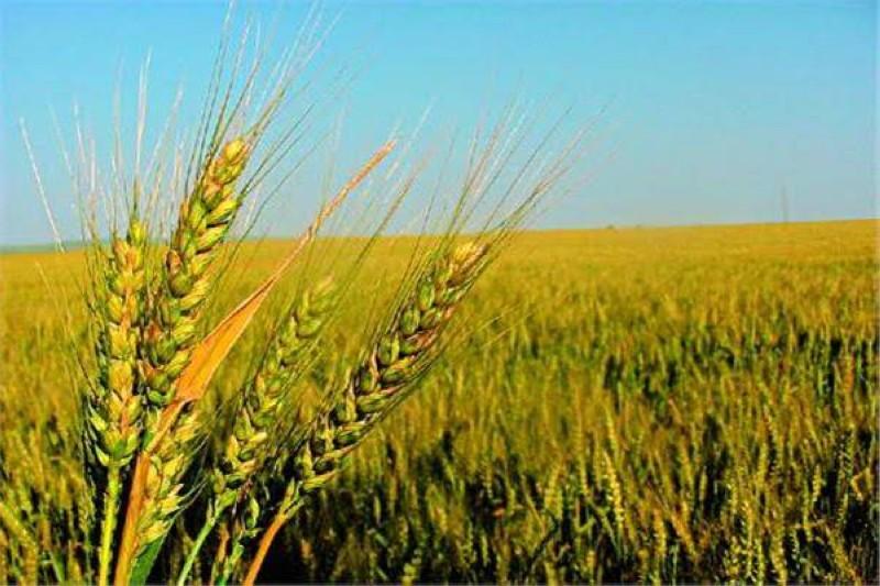 زراعة القمح اكتفاء وطني وأمن غذائي