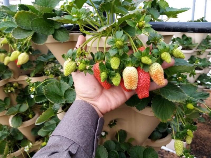 ثمار الفراولة في مزرعة الكعيد.