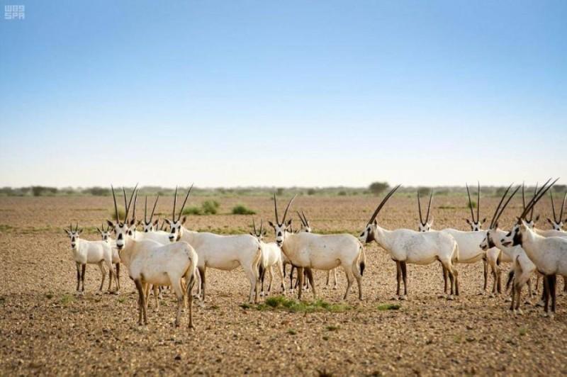 هيئة العُلا تُطلق المجموعة الثالثة من الحيوانات الفطرية في بيئاتها الطبيعية ضمن موقع الحجِر