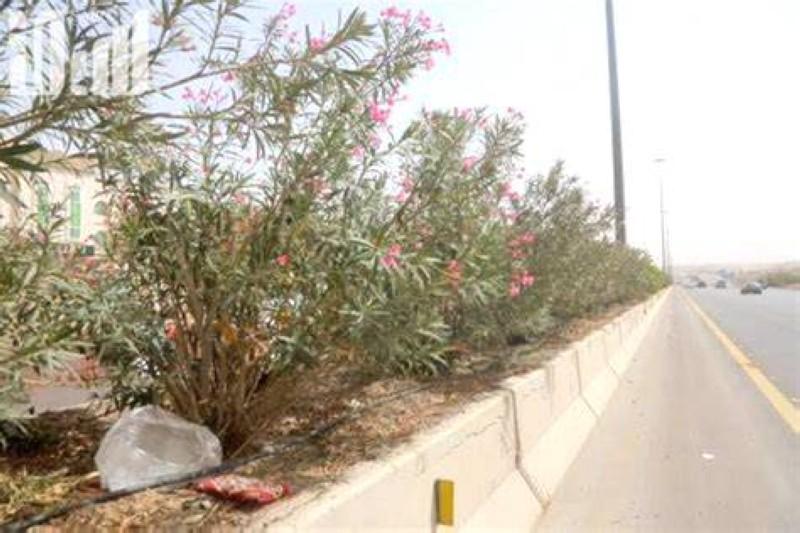 دعوات كثيرة للتوقف عن زراعة نبات الدفلة لسميته.