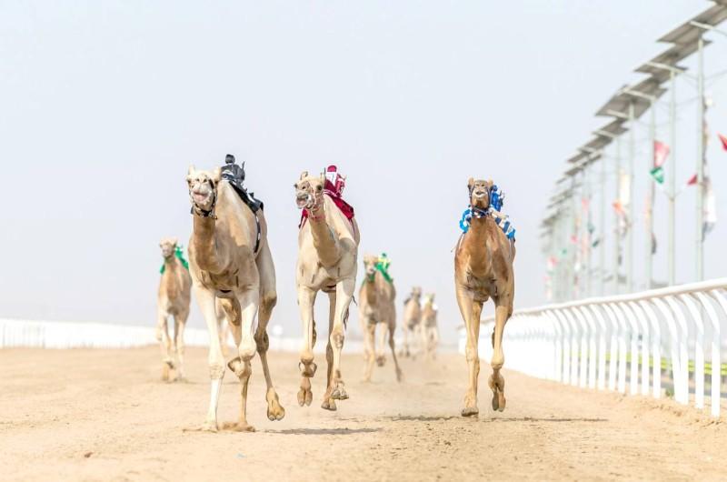 خصص المهرجان جوائز مالية تُعد من أعلى الجوائز في السباقات الرياضية إذ تبلغ قيمتها الإجمالية 53 مليون ريال. (اتحاد الهجن)